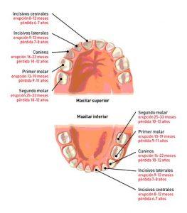 denticion-infantil.jpgff_.jpg